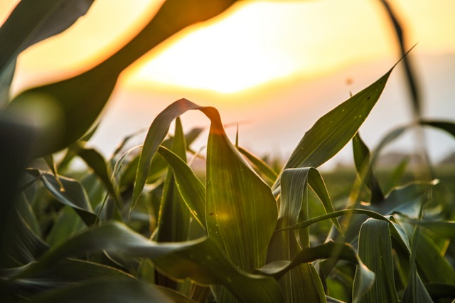 Corn and other starch crops are used to make bioethanol.